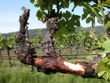 Grape cordon with dead nodes and canker