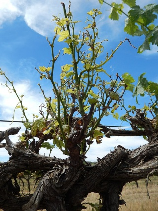 Grapevine with yellow, curled leaves.