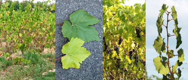 Drought stress symptoms on grapevines