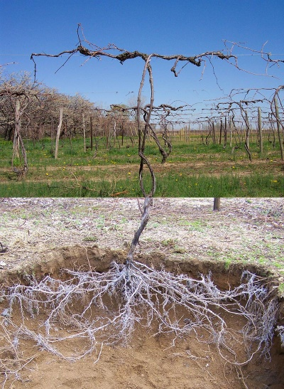 Vine with roots excavated so showing both canopy and root matter