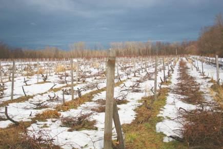 Image of Concord vineyard in need of replanting.