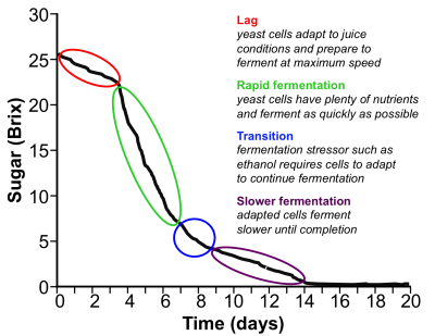 Graph showing the phases of fermentation over time