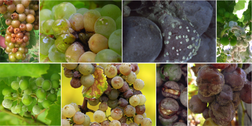 multiple images of fungal and bacterial infections on berries