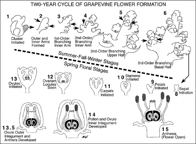 Diagram of grape floral development over a two year period