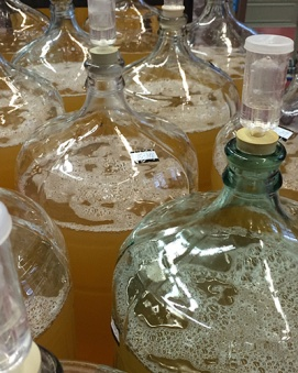 Rows of carboys full of white wine fermenting.