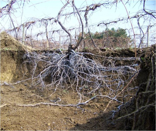 excavated root on grape vine