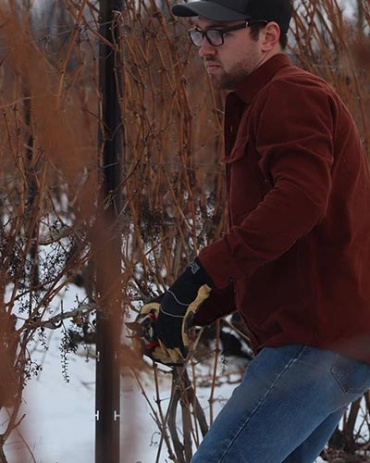 Cornell Viticulture and Enology program student Zack Waltz pruning a grape vine.