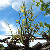 Grapevine with curled, yellowing leaves
