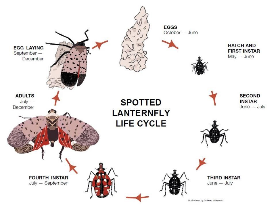 Diagram showing the life cycle of the spotted lanternfly from egg mass to adult egg laying.
