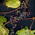large and small north american vitis species