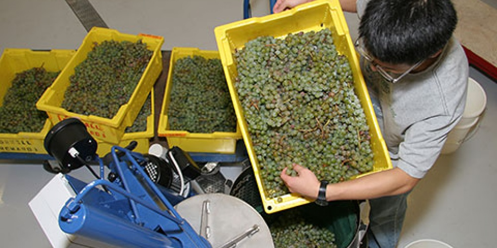 Pressing Grapes