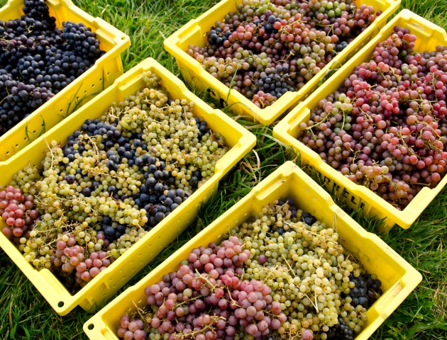 Grapes at Cornell's teaching vineyard
