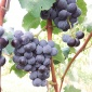 A blue grape selection for grape juice with high levels of powdery mildew and downy mildew resistance.